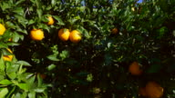 curved travel shot, sunlight on ripe oranges and leaves