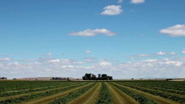 POV of cut alfalfa field with tractor cutting in background.