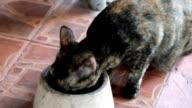 Cute  black kitten eating food