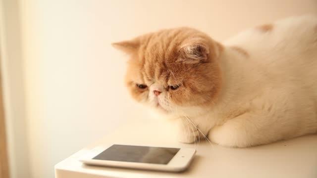 Cute cat play smart phone