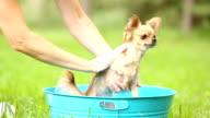 Cute Chihuahua puppy gets a bath outdoors. Summer.