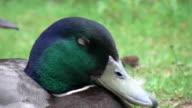 Cute English Duck going to sleep