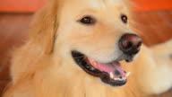 Cute Face Golden Retriever Dog