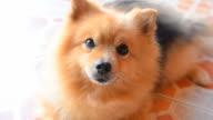 Cute Face Pomeranian Dog