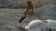 Cute Kitten is Playing with It's Mother's Tail