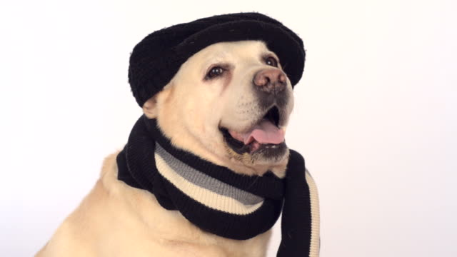 cute labrador in black hat and scarf