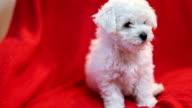 Cute little Bichon puppy