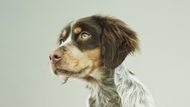 Cute little Epagneul Breton dog portrait