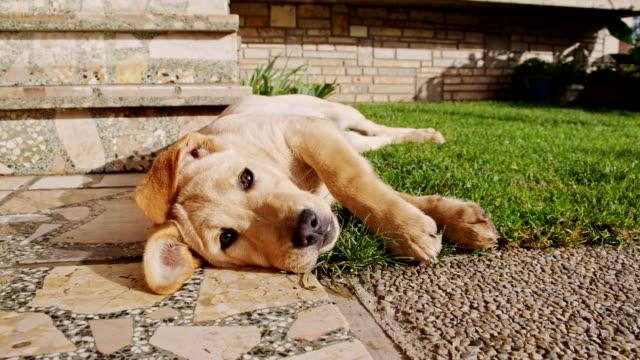 MS LA Cute Puppy Lying At The Doorstep