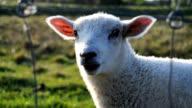 Cute Sheep Chewing