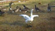 Cute swan flapping wings