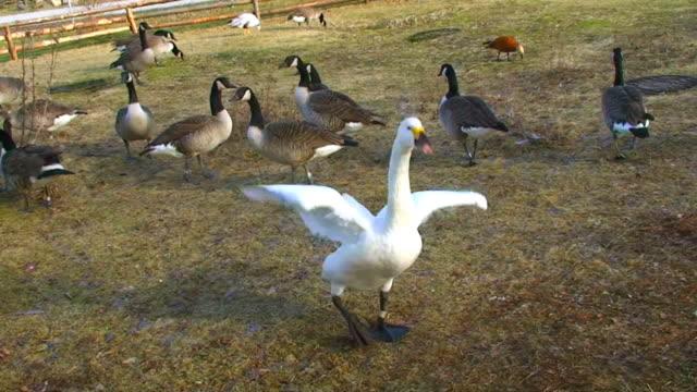 Süße swan flattern Flügel
