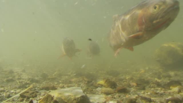 Cutthroat trout swim over sunlit river bed