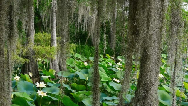 Cypress swamp with Lotus blossoms, looking through Spanish moss screen, pans R, Caddo Lake, on the Texas/Louisiana border
