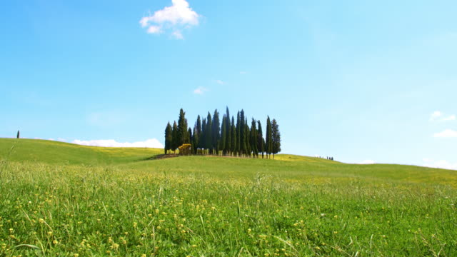 DS Cypress trees in the middle of a windy meadow