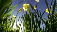 Daffodil summer time