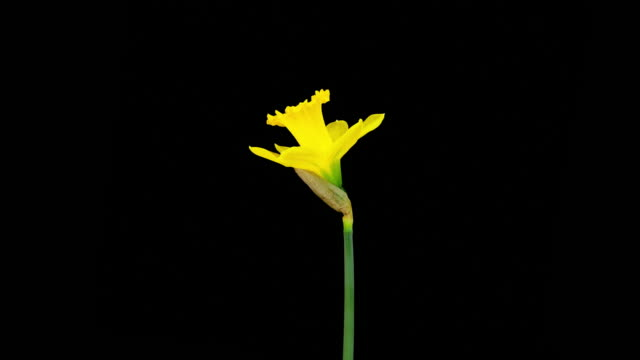 Daffodil; TIME LAPSE