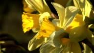 HD: Daffodil
