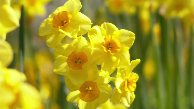 Daffodils (Narcissus sp.) blowing in breeze, Northern Ireland
