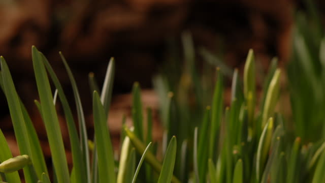 T/L Daffodils (Narcissus sp.) growing upwards, flowers opening, mid shot take 1, United Kingdom