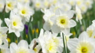 Daffodils in springtime, close up. Bavaria, Germany.