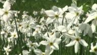 HD: Daffodils