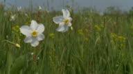 HD DOLLY: Daffodils