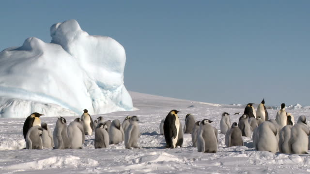 daily life in a penguin colony