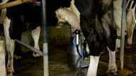 Dairy cow and mechanized milking equipment