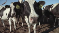 CU, Dairy cows sniffing camera, Modesto, California, USA