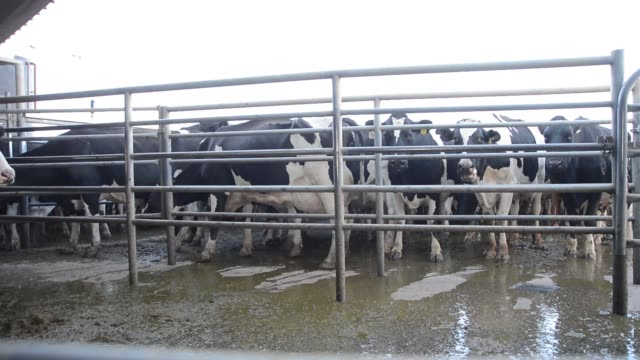 Dairy farmer moves cows into the milking yard at Pearson Farm north of Moama New South Wales Friesian cows stand in the milking yard as they wait to...