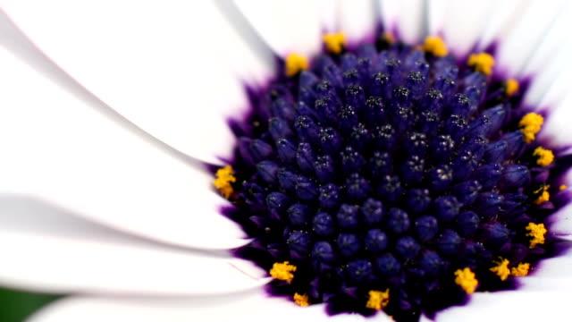 Gänseblümchen-Blumen erblühen