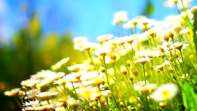 Daisy Hintergrund (Endlos wiederholbar