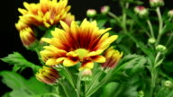 Daisy Blumen-American Chrysantheme 4 K