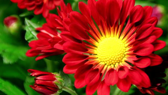 Daisy Blumen-American-Chrysantheme