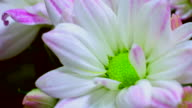 Daisy Blumen-Chrysantheme 4 K