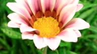 Gänseblümchen-Blumen in Zeitraffer-Videos