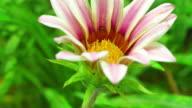 Daisy Blumen erblühen 4 K