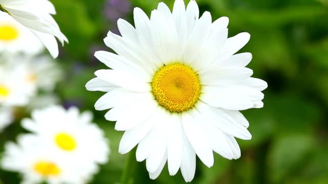 Gänseblümchen Flower Close Up