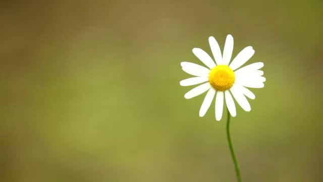 Gänseblümchen auf braunem Hintergrund