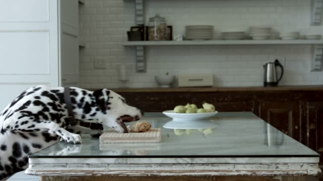 Dalmatian eating food at home