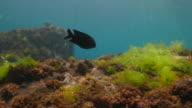Damselfish feeding sea grass undersea, Taiwan (4K)