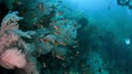 Damselfish schooling on sea fan coral, Raja Ampat