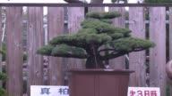 Dan forma a los bonsais pero tambien a arboles de todos los tamanos VOICED Los escultores de arboles de Japon on December 26 2013 in Sosa Japan