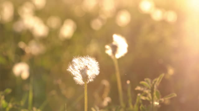 Dandelion Being Blown by Wind at Sunset