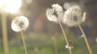 Dandelion Being Blown by Wind