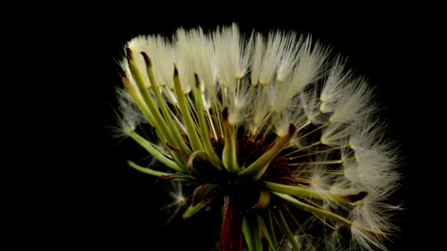 Dandelion blooming in time lapse video.