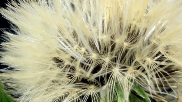 Dandelion blooming
