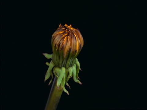 A dandelion blooming