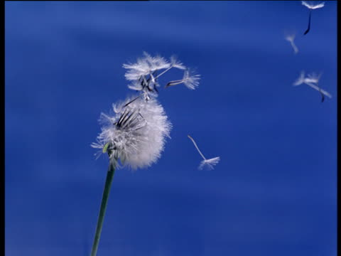 Dandelion clock moving in breeze releasing seeds in front of blue screen